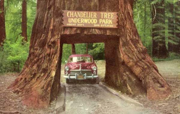 Drive thru redwood chandelier tree buy redwood the chandelier tree in drive thru tree park is a 315 foot 96 m tall coast redwood tree in leggett california with a 6 foot 18 m wide by 6 foot 9 inch aloadofball Images